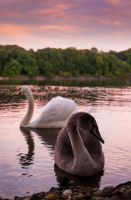 The Swans by jamieoliver22