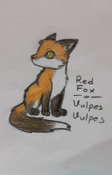 Red Fox|Vulpes Vulpes by lifewatery
