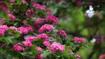 Pink cascade by MariaSemelevich