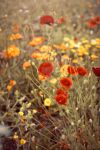 Poppies by WorldII