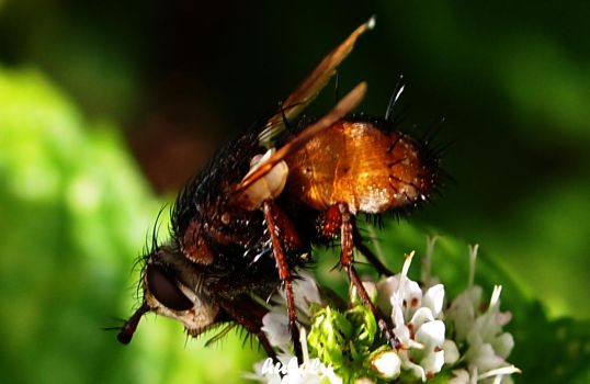 Mouche8 by hubely