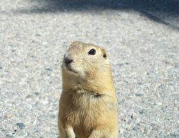 Curious Prairie Dog by Crystal-Cat