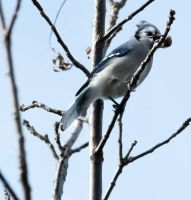 Blue jay 003 by Elluka-brendmer