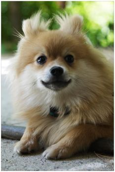 Pomeranian by lizzys-photos
