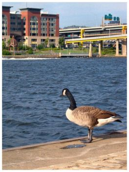 Allegheny Goose by jojousa