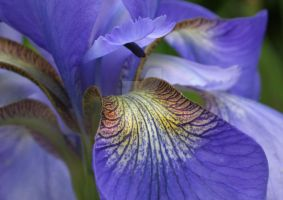 Iris Details by desmo100