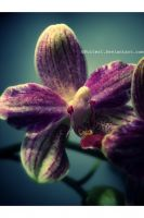 Phaleanopsis by Folter1