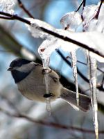 Bird on an Icicle by sp12266