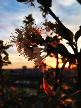 Sunset lit flowers by laly133