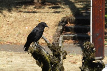A perching Crow. by lexycomplexy