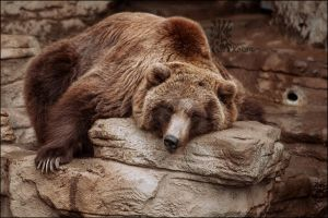 Grizzly by XetsaPhoto