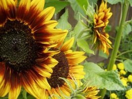 .stock: sunflowers. by guavon-stock
