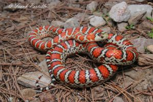 Tarahumara Mountain Kingsnake by achillesbeast