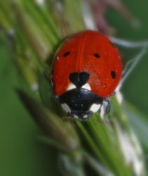 Ladybird Coccinelle by bulgphoto