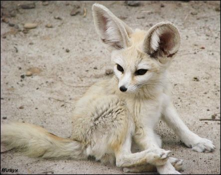 #fennec | Explore fennec on DeviantArt