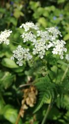Cow Parsley by SparrowHawk135