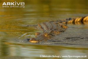 croc - Adult-Nile-crocodile-swimming-on-water-surf by thormanoftunder