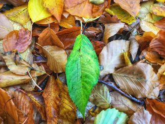 Colored leaves with one green leaf by midvinterdraken