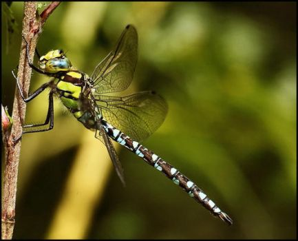 Dragonfly I by freakymonkey