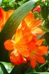 Malay-CH-flower8 by tbg-stock-images