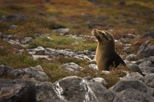 Sea lion III by abey79