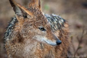 Rainy day Jackal by MJWallace