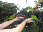Rainbow Lorikeets 6 by monstatofu2011