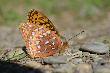 Little Atlantis Fritillary by Rhumald