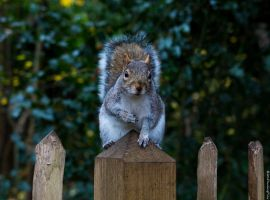 Kyoto Squirrel (2) by Mincingyoda