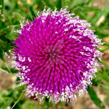 BullThistle by CraveTheWave