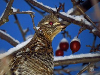 Bird With Snow Berries by wolfwings1