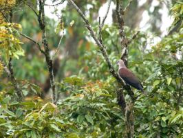 Mountain Imperial Pigeon by jitspics