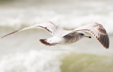 Feeling a moment - Juvenile Ring-billed Gull by Spirit-whales