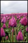 Tulip Town I by davidmoakes