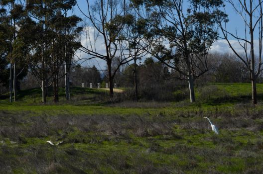White Heron at Baylands Park by prancingdeer722