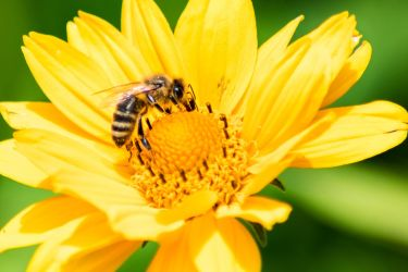 A bee at lunch #2 by Grothorious