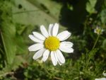 White Flower 1 by Coelophysis83
