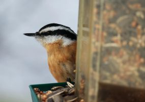 Red Breasted Nuthatch by ryancrouse