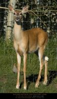 Whitetail Doe 4 by SalsolaStock