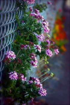 Flowers and a chainlink fence by humminggirl