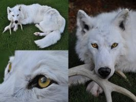 White Wolf by AlmostAustralian