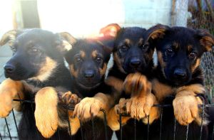 Puppies Aligned by OurCoreKonvictions