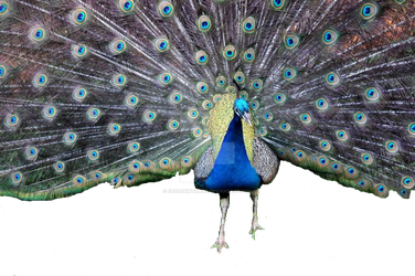 Peacock With Spread Tail Precut by frozenintime93