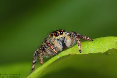 Jumping spider by RichardConstantinoff