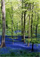 bluebells near soudley by 35mil
