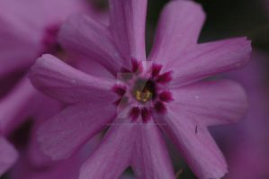 5 Petaled Purple Flower by MindfullyArtistic