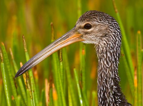 Limpkin Profile- Green Cay Wet by hey-man-nice-shot