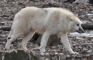 wolf stock 11 by Sikaris-Stock