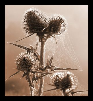 Sepia thistle by heylorlass