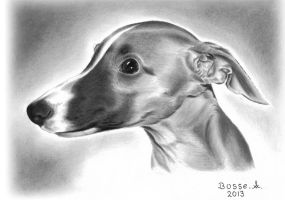 Whippet Puppy by Torsk1